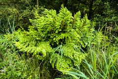 Askham Bog, York (alh1) Tags: askhambog royalfern yorkshirewildlifetrust england northyorkshire york