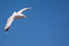blue seagull (ingoal18) Tags: flight flug mowew mwe moewe gull sea seagull vogel blue blau himmel sky bird d7100 nikkor nikon