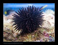 AMB4061-21echinotrix-diadema2068_120514 (kactusficus) Tags: marine reef trade aquarium echinotrix diadema urchin oursin echinometridae