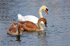 Mute Swan and Cygnets (kaprysnamorela) Tags: muteswan cygnet cygnusolor oakville ontario canada nikond3300