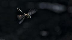 flying (sami kuosmanen) Tags: sudenkorento luonto light valo nature bokeh dof dragonfly finland suomi scandinavia kes summer fly lento flying lent