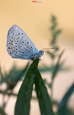 Bluling mit Tropfen.jpg (oliver r.) Tags: canon tamron macro makro nature natur insect insekt wildlife outdoor bluling schmetterling butterfly falter wassertropfen tropfen morgentau tau waterdrops drops wasser water