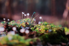 Klee (Rainer Schund) Tags: klee nikon nikond700 natur nature natureexploring naturemasterclass abend makro macro hainich