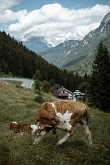 Ritorno alle origini (Davide Bon) Tags: nikon nikond7100 d7100 35mm18 35mm sellanevea italy nature mountain vscofilm vsco animal cow