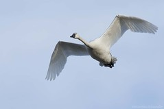 Tundra Swan AV (martinaschneider) Tags: swan tundraswan spring aylmer bird ontario flight flying birds bluesky