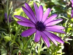 De morada (mayavilla) Tags: demorada morada flor morado jardin plantas verde petalos ya no purple green garden