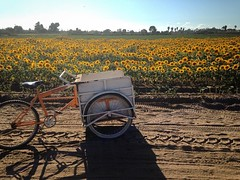 Sunflowers in the field with bike