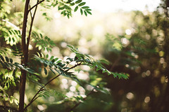 (DrowsyPotato) Tags: sony ilce7rm2 bokeh bokehful bokehlicious depth field bokehballs nature forest light backlit woods tree trees natural 50mm sweden lvberga jmtland sverige norrland leaves mood tones moody tone
