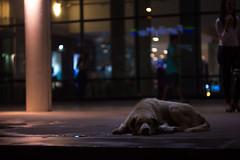 IMG_1709_1 (pavel.milkin) Tags: thailand phuket kathu travel dog sleep tired evening afterrain rainy central centralfestival centralfestivalphuket canon canon550d 550d helios helioslens helios442 442 colour rainyseason drop bokeh bokehlicious