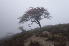 (Artemis Studio - Nas Ikaria) Tags: ikaria crataegus crataegusmonogyna    tree atheras fog