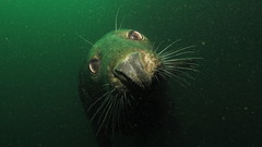 Seal 1 (MatYts) Tags: farne islands seals scuba diving divers encounters wildlife cute big eyes whiskers canon ikelite g15 north sea northumbria bsac
