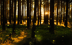 Magical Forest (--Conrad-N--) Tags: forest tree moss moos kiefer plants particles brandenburg wald sunset light silhouettes shadow