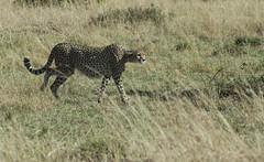 Cheeta (jhderojas) Tags: cheeta masai mara kenia