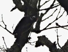 Great Spotted Woodpecker, Dendrocopos major (asterisktom) Tags: 2016 trip2016kazakheuro july germany karlsruhe greatspottedwoodpecker woodpecker buntspecht dendrocoposmajor bird vogel ave 鸟 niao птица 鳥