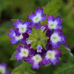 Purple Flowers Macro (hbickel) Tags: purple flower macro macrolens photoaday pad canont6i canon square