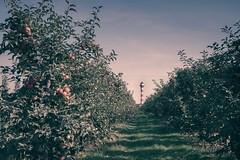 Lighthouse and apples (PauliMatze) Tags: lighthouse appletrees leuchtturmapfelbaumapfelbume apfelbaum apfelbume leuchtturm jork altesland deutschland germany