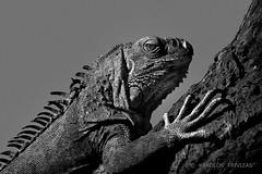 GREEN IGUANA . . . (SPAIN, CANTABRIA, PENAGOS, CABARCENO) (KAROLOS TRIVIZAS) Tags: spain cantabria penagos cabarceno iguana lizard reptile animal fauna reptilia squamata iguanidae zoo