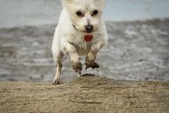 (Ian Threlkeld) Tags: d750 nikon nikonphotography nikonphoto mynikonlife britishcolumbia pittmeadowsdykes irt bc dogs dogsatplay dogsofflickr adogslife dog animals pets canine rescuedogs explorebc explore cute
