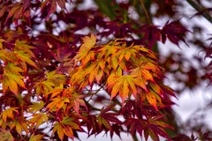 Signs of a Change (robinlamb1) Tags: tree nature outdoor japanesemaple colour leaves leaveschanging autumnsign