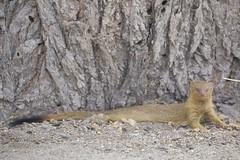 Slender Mongoose (Galerella sanguinea) (piazzi1969) Tags: slendermongoose galerellasanguinea mammals animals tiere nature canon eos 5d markiii ef100400mm africa afrika namibia okuakuejo mongoose mangusten