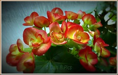 Begonia-- (Dan B. Pics.) Tags: potted plants flowers blooms garden house