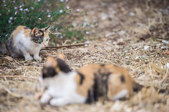 Mother & daughter (Vagelis Pikoulas) Tags: canon 6d tamron 70200mm vc cat cats kitten pet animal animals nature 2016 september autumn vilia greece europe gattaspagnola