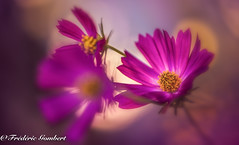 Pink life (frederic.gombert) Tags: cosmos color pink red light sun sunlight summer spring flower flowers colorful plant nikon d800 macro macrodreams greatphotographers