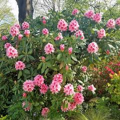 Azalea (Helen) Tags: rhododendron azalea shrubs flowers ericaceae promenadeplante paris france garden jardin jardim azalia pink