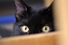 Eyes (Alessio Rizzi) Tags: black animal cat nikon mm tamron gatto nero animali animale 70300 tamron70300 d3100 nikond3100