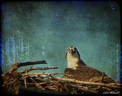 Osprey Eyes (Passion4Nature) Tags: texture birds eyes nest michigan birding upnorth ie birdwatching osprey moonseclipse memoriesbook tatot magicartoftextures magicunicornverybest magicunicornmasterpiece