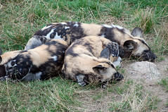 Sleeping African Hunting Dogs