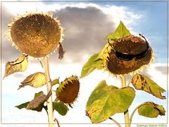 La famille Tournesol en vacances dans le Gers (Dominique Dumont Willette) Tags: fleurs ciel t nuages natures gers midipyrnes ournesols