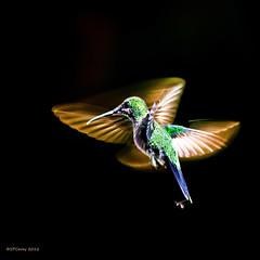 Flamenco Dancer (Steve Corey) Tags: costarica hummingbird slowshutter cloudforest flamenco slowspeed greencrownedbrilliant rainforestbirds dancingbirds cataratadeltoro
