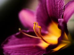 Purple Daylily~Explored! (j man ) Tags: life lighting friends light flower macro art texture nature floral colors beautiful closeup lens photography petals illinois flickr dof blossom bokeh pov background sony details favorites blurred 11 depthoffield pointofview sp ii views stamen daylily di if f2 pollen tamron comments ld jman a300 af60mm mygearandme flickrbronzetrophygroup