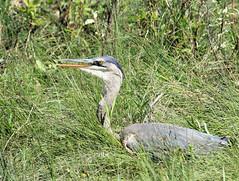 Great Blue Heron (K Fletcher) Tags: blue canada calgary bird heron great alberta
