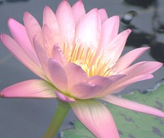 (Cher12861) Tags: pink summer flower macro nature fleur beauty closeup petals flora soft glow waterlily blossom watergarden pastels chicagobotanicgarden glencoeillinois makemoocard september2012 texturedwithdigidisoceanmodifiedandlightened