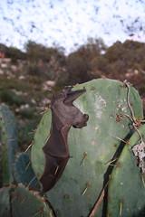Mexican free-tailed bat on cactus (USFWS Headquarters) Tags: wildlife bat caves cave bats usfws fws bci usfs usforestservice usfishandwildlifeservice brackencave mexicanfreetailedbat batconservationinternational fishandwildlifeservice usdaforestservice brackenbatcave princewilliamnetwork