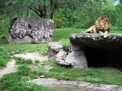 Lion (meeko_) Tags: africa animals gardens tampa florida lion edge themepark buschgardens attraction busch buschgardenstampa buschgardensafrica buschgardenstampabay edgeofafrica