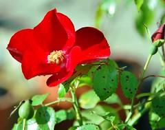 Rose (xela2013) Tags: flowers blumen natuer nautur koeniginderblumen