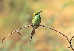 Green bee eater(explore) (Raghuvir solanki) Tags: allofnatureswildlifelevel1 allofnatureswildlifelevel2 allofnatureswildlifelevel3 allofnatureswildlifelevel4 allofnatureswildlifelevel5 allofnatureswildlifelevel6