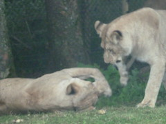 """Longleat Safari Park • <a style=""""font-size:0.8em;"""" href=""""http://www.flickr.com/photos/81195048@N05/8017613434/"""" target=""""_blank"""">View on Flickr</a>"""