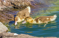 Muscovy Ducklings (katejbrown photography) Tags: birds ducklings ducks goldengatepark katejbrown muscovy nature sanfrancisco stowlake water wildlife
