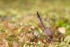 Bark Horned Mantis nymph (Ceratocrania macra) - DSC_6593 (nickybay) Tags: macro mantis head ghost praying bark malaysia devil nymph pahang horned frasershill macra ceratocrania