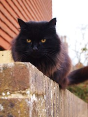 The cat on the wall... (lindscatt) Tags: brown wall fur intense eyes glare dof bokeh kitty depthoffield hues reds gardenwall catt yelloweyes catseyes