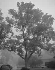 tree in fog (Eli Nixon) Tags: autumn usa tree fog colorado longmont iso80 elinixon canons90 bohnfarm