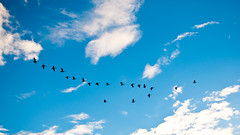 Skein (Craig's Collection) Tags: blue sky clouds geese nikon flight nikkor vformation d90 blueribbonwinner 35mm18