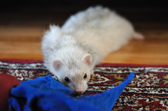Fluffy flop: 52 weeks of ferrets (38/52) (librariansarah) Tags: speed ferret pancake flop bump furet bumping flopping