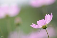 (miwa**) Tags: pink flower macro nikon nikkor cosmos 2012 miwa コスモス d90 105mmf28dmicro nikond90