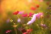 Cosmos (floridapfe) Tags: flower nikon korea cosmos everland
