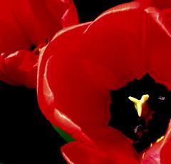 Spring Red by My Beautiful Wife (Puzzler4879) Tags: red tulips vivid bbg brooklynbotanicgarden springflowers pointshoot botanicgardens redflowers canonpowershot redtulips canondigital canonaseries canonphotography wonderfulphotos springtulips perfectpetals canonpointshoot flickraward a580 canona580 canonpowershota580 powershota580 amazingdetails handselectedphotographs addictedtoflower naturewithallitswonders mygearandme level1photographyforrecreation prestigenaturecompetitionsrus niceasitgets~level1 redlevelno1